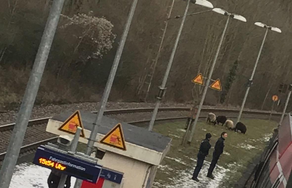 Ziegen auf dem Bahnsteig in Trier-Quint.