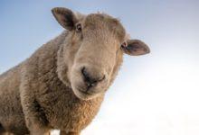 Photo of 9 Schafe geschlachtet und Schlachtabfälle ungenehmigt entsorgt