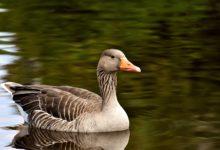 Photo of Ausbruch der Vogelgrippe H5N8 in Rheinland-Pfalz